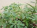 Trigonella foenum graecum-1-bangalore-India.jpg