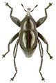 Trigonopterus moreaorum holotype - ZooKeys-280-001-g053.jpg