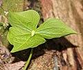 Trillium tschonoskii (bud).jpg