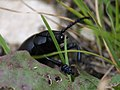 Trimarcha tenebricosa (Chrysomelidae) (7125141467).jpg