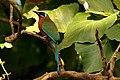 Trinidad motmot (Momotus bahamensis).jpg