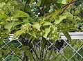 Tripterygium regelii.jpg
