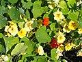 Tropaeolum majus - Botanical Garden in Kaisaniemi, Helsinki - DSC03584.JPG