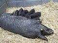Truie noire de Bigorre.jpg
