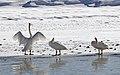 Trumpeter swans (22961829524).jpg
