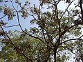 Tuna-maram (Tamil- தூணாமரம்) (5496751518).jpg