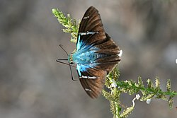 Two-barred flasher (Astraptes fulgerator).jpg
