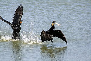 Two Phalacrocorax auritus and one fish