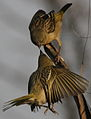 Two female Southern Masked Weavers contesting a feeding space. (9310194186).jpg