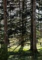 Two silver firs in Gullmarsskogen Nature Reserve.jpg