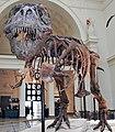 Tyrannosaurus rex (theropod dinosaur) (Hell Creek Formation, Upper Cretaceous; near Faith, South Dakota, USA) 16.jpg