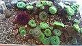Ucluelet Aquarium sea anemones.jpg