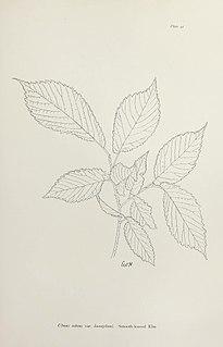 <i>Ulmus minor</i> Hunnybunii