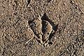 Unidentified Anatidae Tracks - London, Ontario.jpg