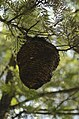 Unidentified paper wasp nest from Valparai Plateau JEG1719.JPG