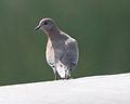 Uran little brown dove - Flickr - Lip Kee.jpg