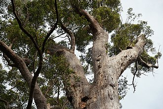 Eucalyptus jacksonii - Tingle tree crown Walpole-Nornalup National Park