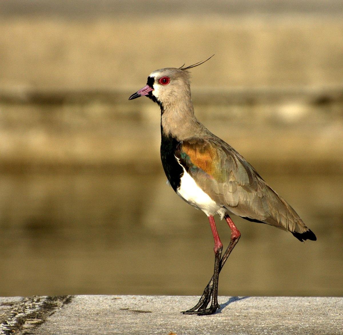 Vanellus chilensis - Wikipedia, la enciclopedia libre