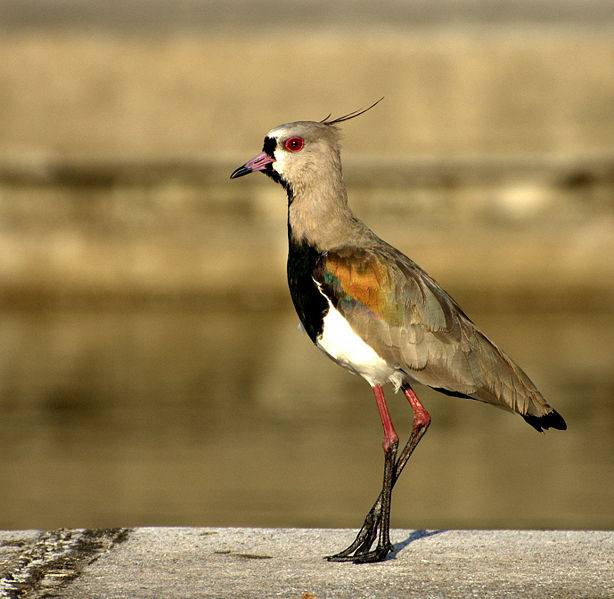 Ficheiro:Vanellus chilensis (close-up-2).jpg
