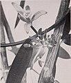 Vanilla culture in Puerto Rico (1948) (20560902042).jpg