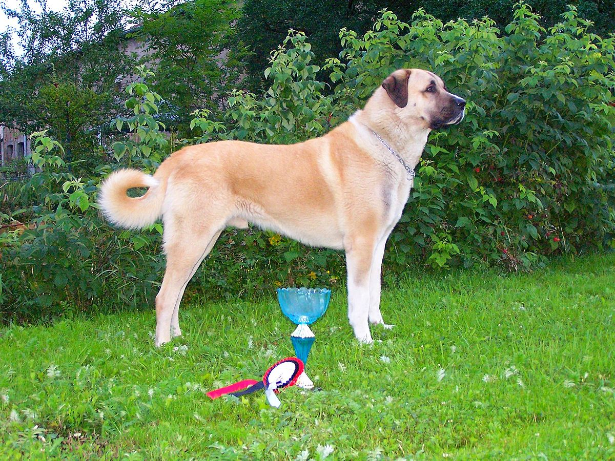 Kangal Shepherd Dog Wikipedia