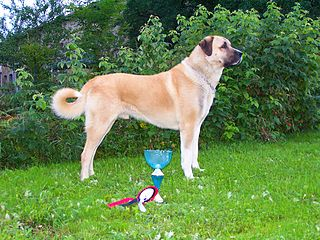 Kangal Shepherd Dog Dog breed