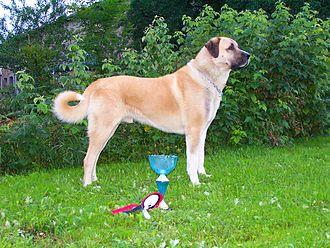 Kangal Shepherd Dog - Image: Varish, Berger d'anatolie, Kangal
