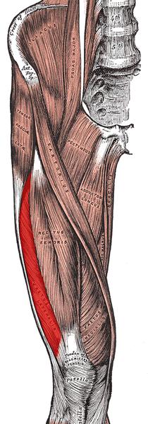 Vastus lateralis muscle.png