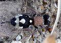 Velvet ant. Mutillidae. Ronisia barbarula - Flickr - gailhampshire.jpg