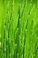 Verde Green Reed Grass Creative Commons (4685982515).jpg