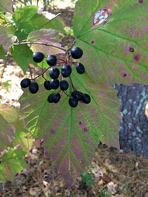 Viburnum acerifolium - Showing fall foliage and drupes in Massachusetts