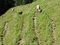 Viehgangeln am Grünten (3).jpg