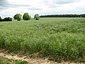 View across a crop of oilseed rape - geograph.org.uk - 1341808.jpg