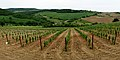 Vineyard in Montepulciano Tuscany-also example of clear cultivation.jpg