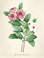 Vintage Flower illustration by Pierre-Joseph Redouté, digitally enhanced by rawpixel 22.jpg