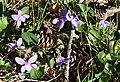 Violets - geograph.org.uk - 415047.jpg