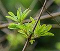 Vitex agnus-castus in Hackfalls Arboretum (2).jpg