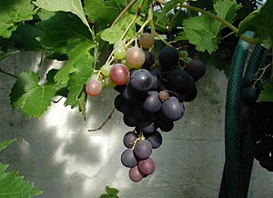 Tsipouro - Raw materials: Dark berries of the grape plant