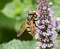 Volucella inanis on Mint (36756988811).jpg