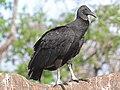 Vulture, Black FG1.jpg
