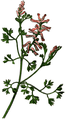 WWB-0026-008-Fumaria officinalis-crop.png