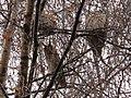 Waldohreulen-2012-11-26 -II 004.jpg