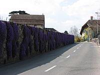 "Wall of ""Campanula Muralis"" in the village of Duillier Switzerland2.jpg"