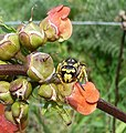 Wasp sp - Flickr - gailhampshire (1).jpg