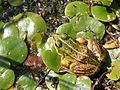 WasserfroschMüritz1.jpg