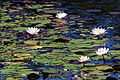 Water Lillies Pee Dee River North Carolina (29743553).jpeg