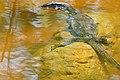 Water Monitor (Varanus salvator) juvenile (23479897079).jpg
