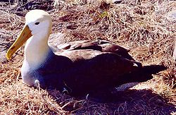 Waved albatross nesting.jpg