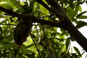 File:Weaver ants nest, Umaria district, MP, India.ogv