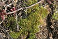 Weissia longifolia (a, 153208-482342) 1490.JPG